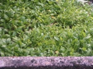 zaaien van spinazie