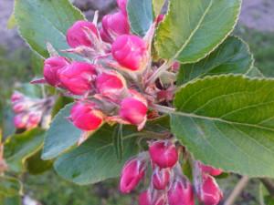 appelbloesem in de moestuin