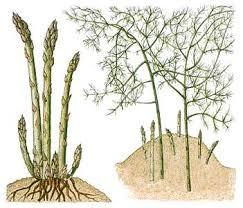 aspergeplant