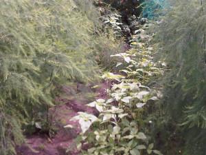 zonnebloemen tussen de asperges
