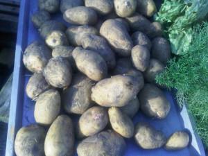 aardappelen oogst