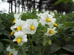 aardappelplant bloeiend