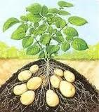 aardappelplant oogsten