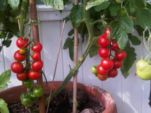 tomaten rijp