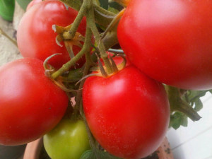 tomatenfeest
