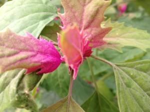 reuze spinazie kweken in de moestuin