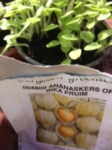 ananaskers jonge plant