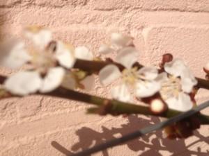 abrikozenbloesem 3