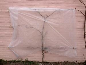 vliesdoek op abrikozenboom
