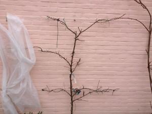 abrikozenboom maart