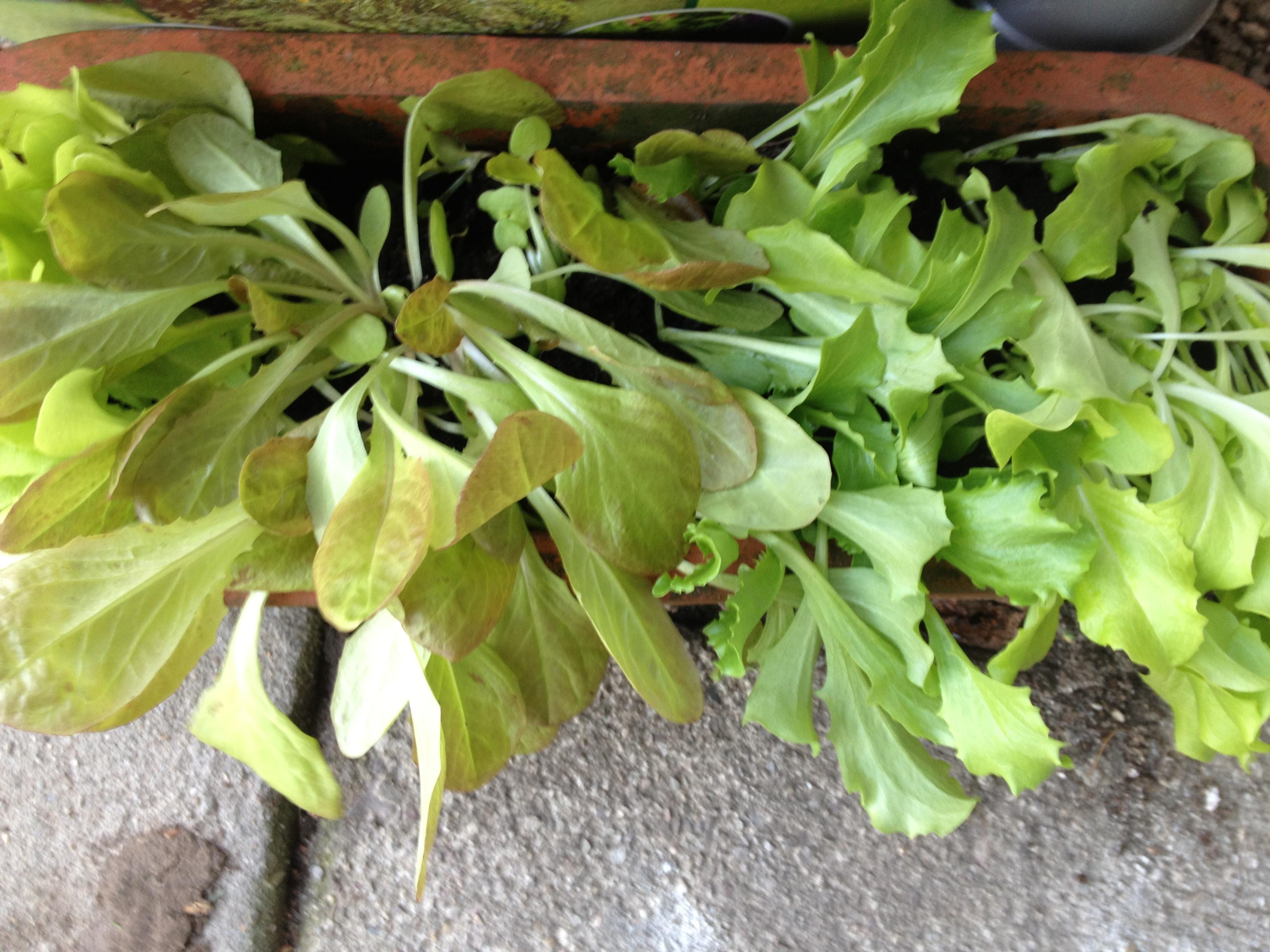 sla opnieuw planten