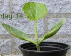 courgetteplant jong