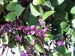 hyacintboon
