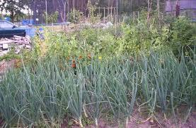 prei en dille planten