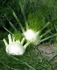 venkel plant