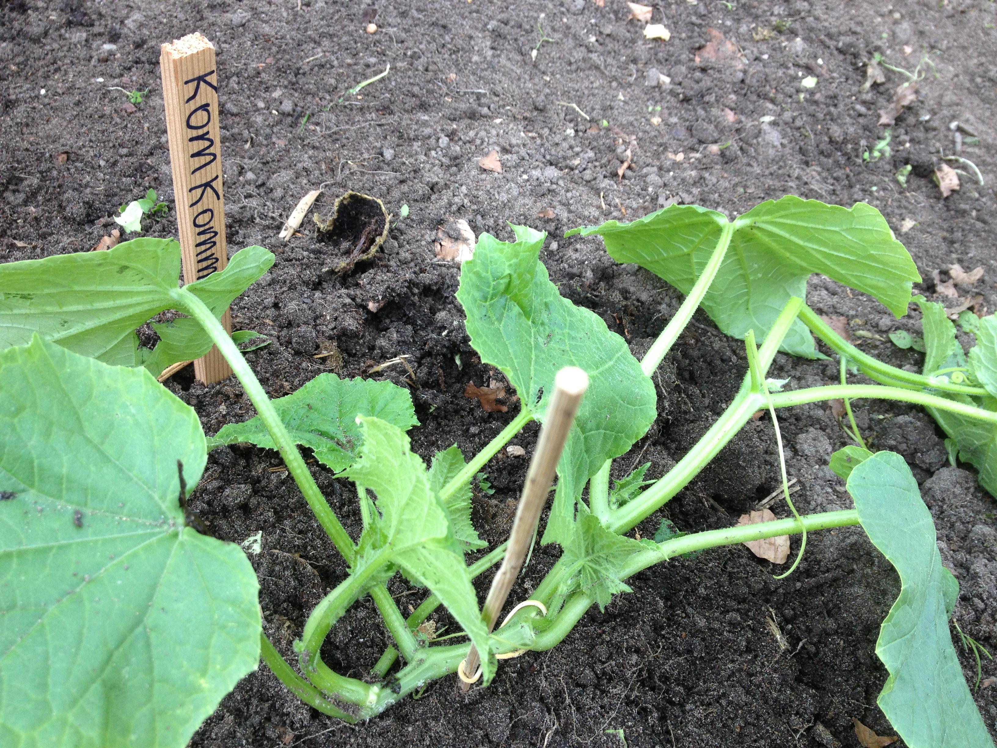 Ik wil komkommers kweken moestuin beginnenmoestuin beginnen - De komkommers ...