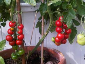 tomaten en sex