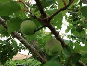 abrikozenboom wielewaal