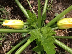 courgette start