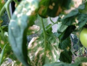 tomatenblad met witte vlekken