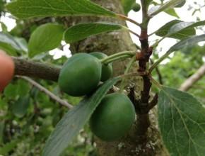 vruchtdunning pruim voor