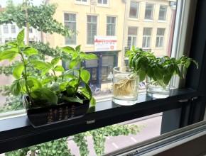 basilicum kweken zonder tuin