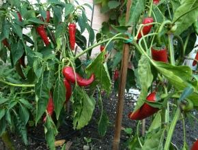pepers, paprika's en aubergines voorzaaien