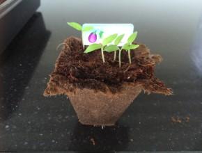 ah moestuintje verplanten