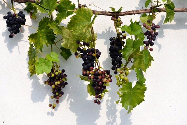 druiven kweken