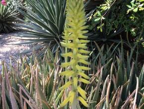 Aloe vera bloem