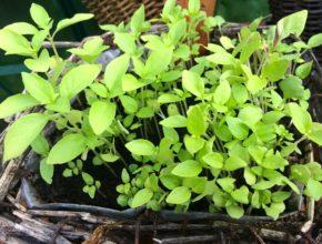 citroen basilicum