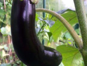 aubergine zaaien en oogsten