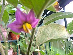 aubergine bloem