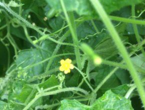 muismeloen bloem