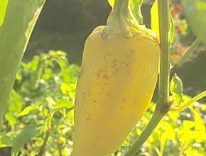 paprika grote gele stierenhoorn