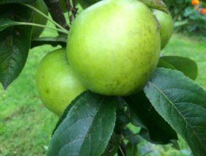 appel goldlane
