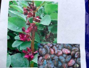 tuinbonen double red