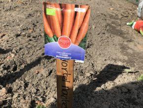 wortels zaaien