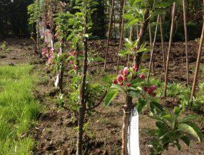 appelhaag planten