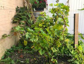 druiven op een rekje