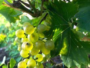 druif bianca