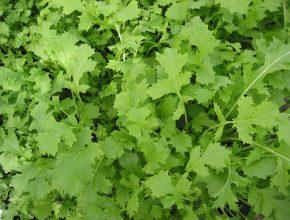 Raapstelen_Brassica_campestris_greens