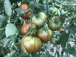Ode aan de coeur de boeuf tomaat